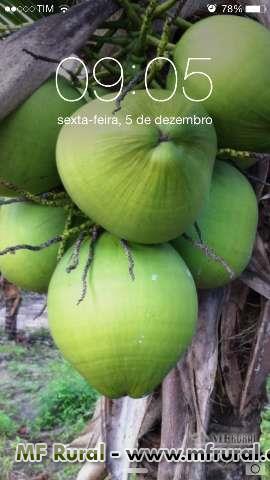 coco verde no Espirito Santo