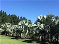 Palmeira Azul Adulta (Palmeira Bismarckia)