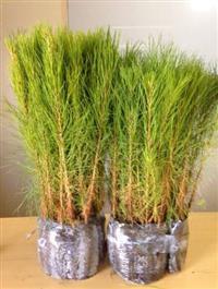 Mudas de Pinus taeda PCS 1,5 geração