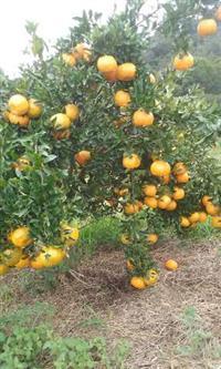 Fazenda Ponkan produtiva - formação recente