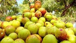 Mangaba (venda no kilo) temos alta quantidade!