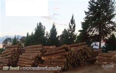 casca composta de pinus