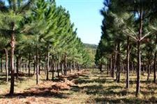 Fazendas com plantação de Pinnus no Rio Grande do Sul  com 14.760.000  árvores