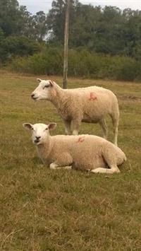 Ovelhas texel puras