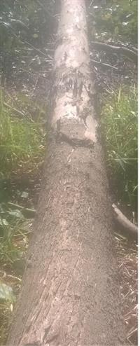 Toras de eucalipto