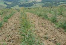 Plantio  Eucalipto  e Reflorestamento