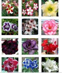 12 Sementes de Rosas do Deserto - Frete Grátis