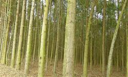 floresta de eucaliptos