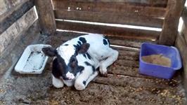 Vende-se ou troca vacas e novilhas holandesas de excelente genetica