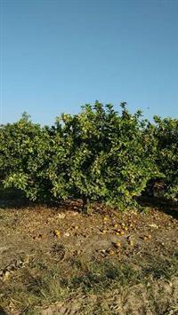 venda de laranja direto do produtor