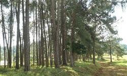 Vendo pinheiros e eucaliptos em pé