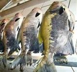 Peixe Tambatinga tambaqui