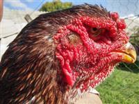 Indio Gigante Sorocaba SP - Venda de Ovos Galados