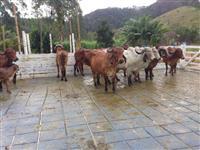Vacas Gir PO todas Registradas