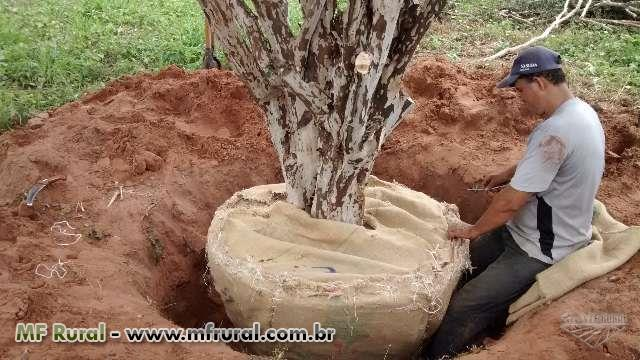 MUDAS DE COCO ANÃO