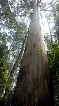 Fazenda com reflorestamento de araucária, pinus e eucaliptus