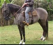 Cavalo Garanhão Campolino Registrado