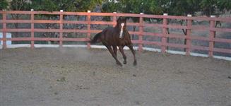 Garanhão PO / Cavalo de Vaquejada
