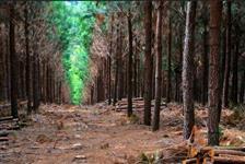 vendo 100.000 arvores de Pinus Eiottii