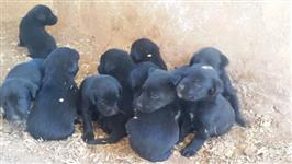 Filhotes de Labrador á venda