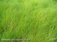 Sementes de Brachiaria Humidicola cv. Llanero - Sementes Revestidas