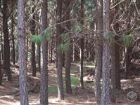 Compramos Madeira de Pinus