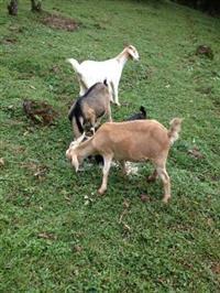 3 Fêmeas de caprinos cobertas