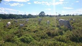 Vacas nelores e tabapuãs paridas de touro canchim