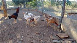 Venda Ovos Índio Gigante Galados