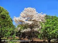 IPÊ BRANCO ÁRVORE ADULTA (Tabebuia roseoalba)