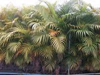 Palmeira Real ou Areca Bambu