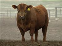 semen touro angus, brangus braford, aberdeen, melhor preço do brasil qualidade