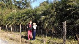 Lote de 600 Palmeira Fenix (2 metros)