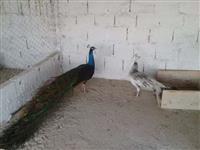 Pavão - Aves Ornamentais