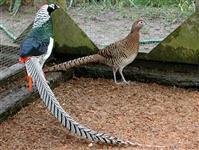 Faisão a venda - Aves Ornamentais