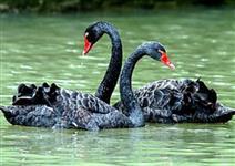 Casal de Cisne Negro
