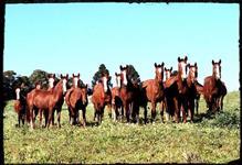 Animais da raça Mangalarga Marchador ( Potros, Potras e animais já domados )