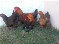 galinhas ornamentais