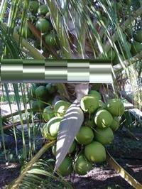 Coco Verde Direto da Fazenda