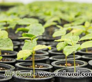 vendo mudas  Nativas e florestais