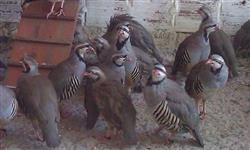 Ovos de Perdiz Chukar
