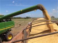 Milho Grão GMO e Convencional