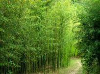 Bambu cana da india (mudas ramificadas)