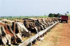 Venda de Vacas e Novilhas Confinadas