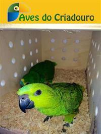 Papagaio Verdadeiro Legalizado - Amazona Aestiva