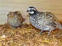 Ovos ferteis de aves ornamentais