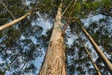 Florestas de Pinus ou Eucalipto