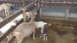 Cabras da raça Sanny e Tog