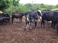 Vacas Girolandas meio sangue e 3/4, total de 36 animais sendo 29 em alta produção.