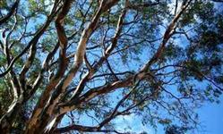 Sementes de pau-ferro (Caesalpinia ferrea)